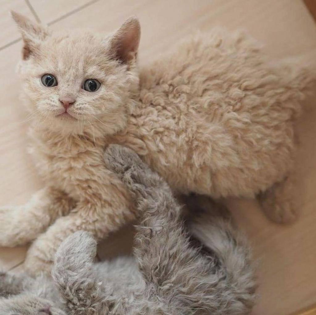 Ла-перм: особенности кудрявых кошек