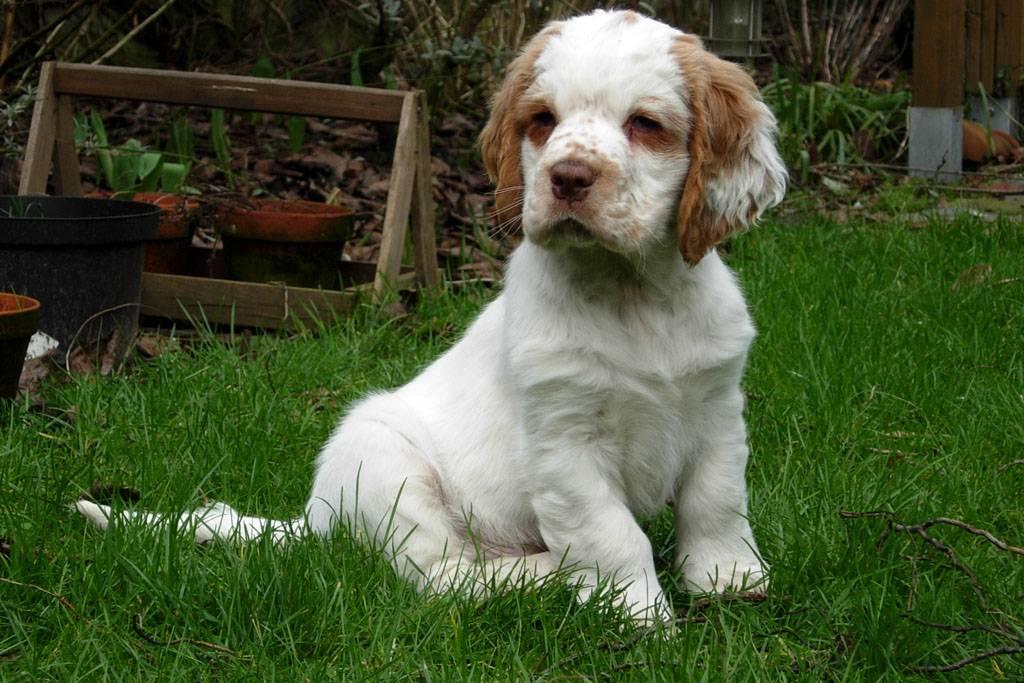 Характеристика собак породы кламбер спаниель