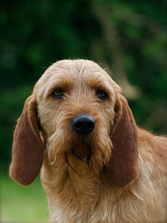 Бретонский палевый бассет. все про породу собаки, фото и правила содержания