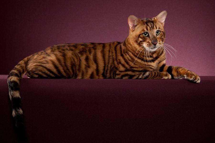 Тойгер кошка: описание породы, характер, советы по содержанию и уходу, фото