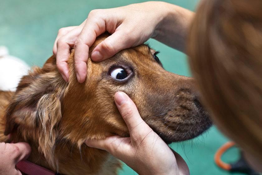 """Собака тяжело дышит: причины и способы лечения   блог ветклиники """"беланта"""""""