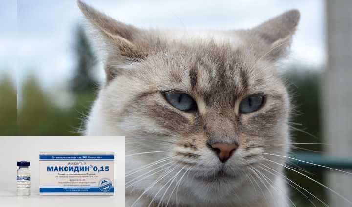 Простуда у кошек и котов: симптомы, лечение в домашних условиях