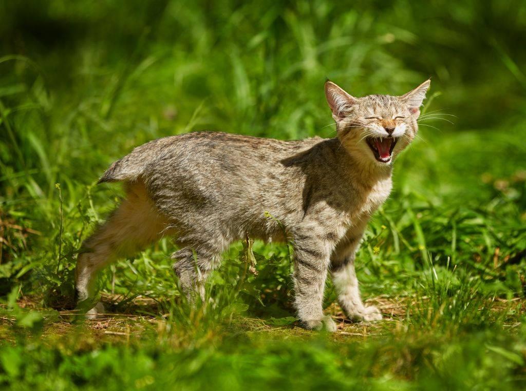 Пиксибоб. о породе кошек: описание породы пиксибоб, цены, фото, уход