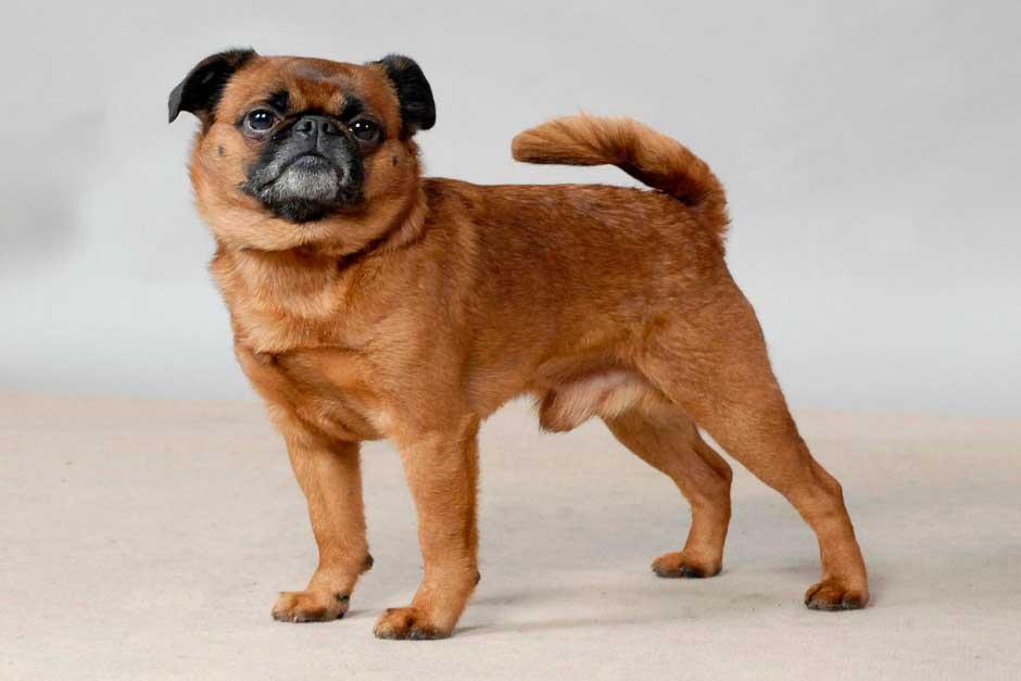 Пти брабансон — стандарт породы, содержание и советы владельцам собак
