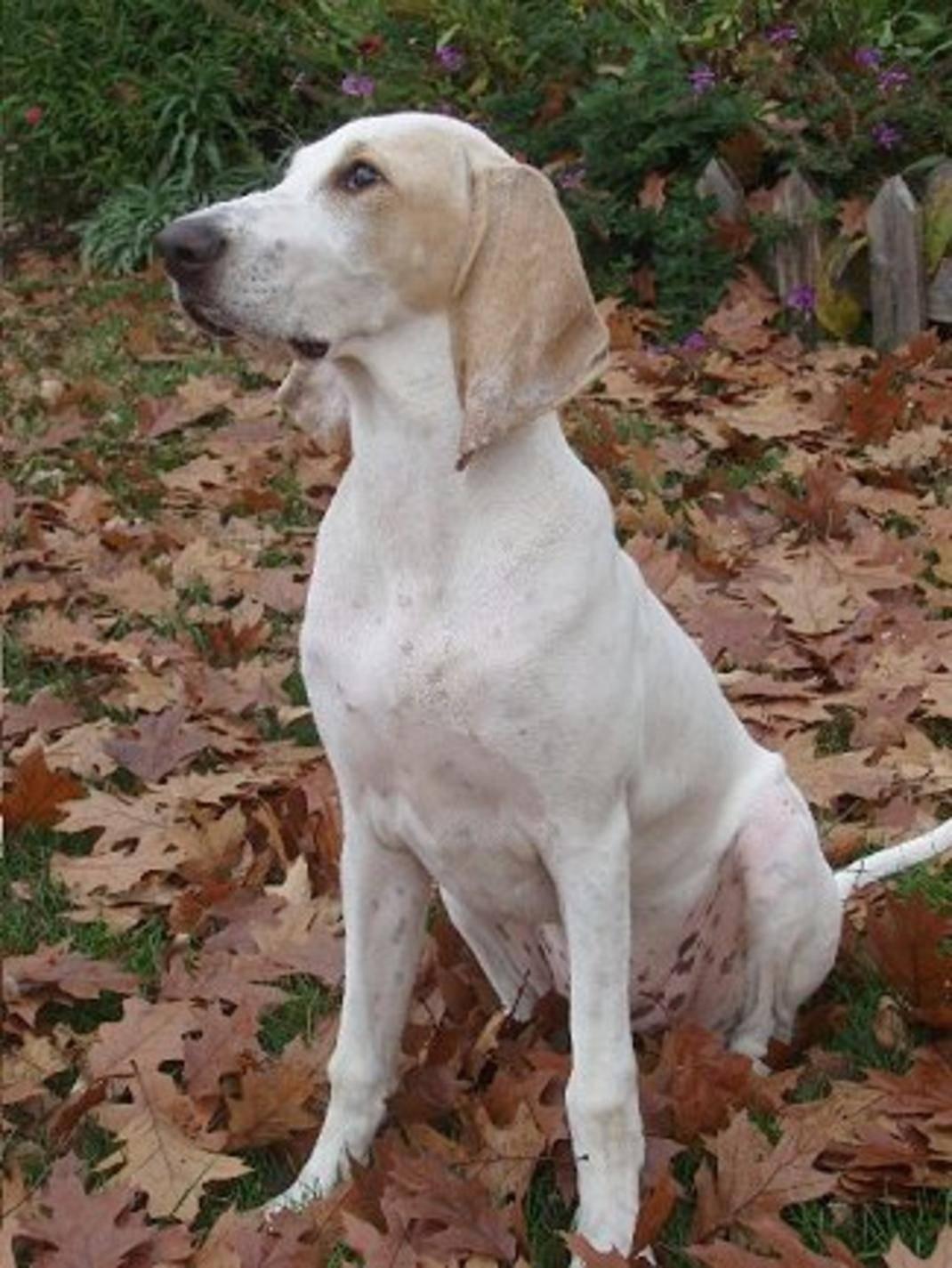 Гончие собаки: разновидности пород, особенности их содержания