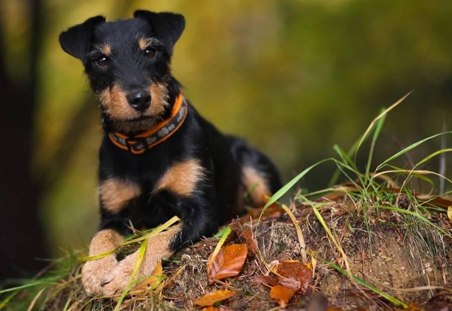 Немецкий охотничий терьер (ягдтерьер): фото и характеристика породы собак, характер и история ягдерьера