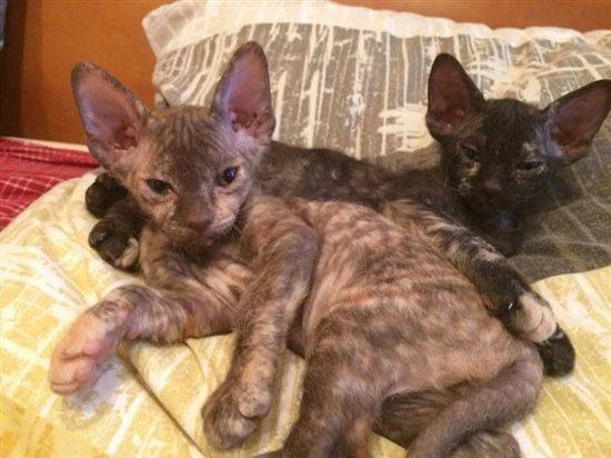 Кошка-метис: характер, описание