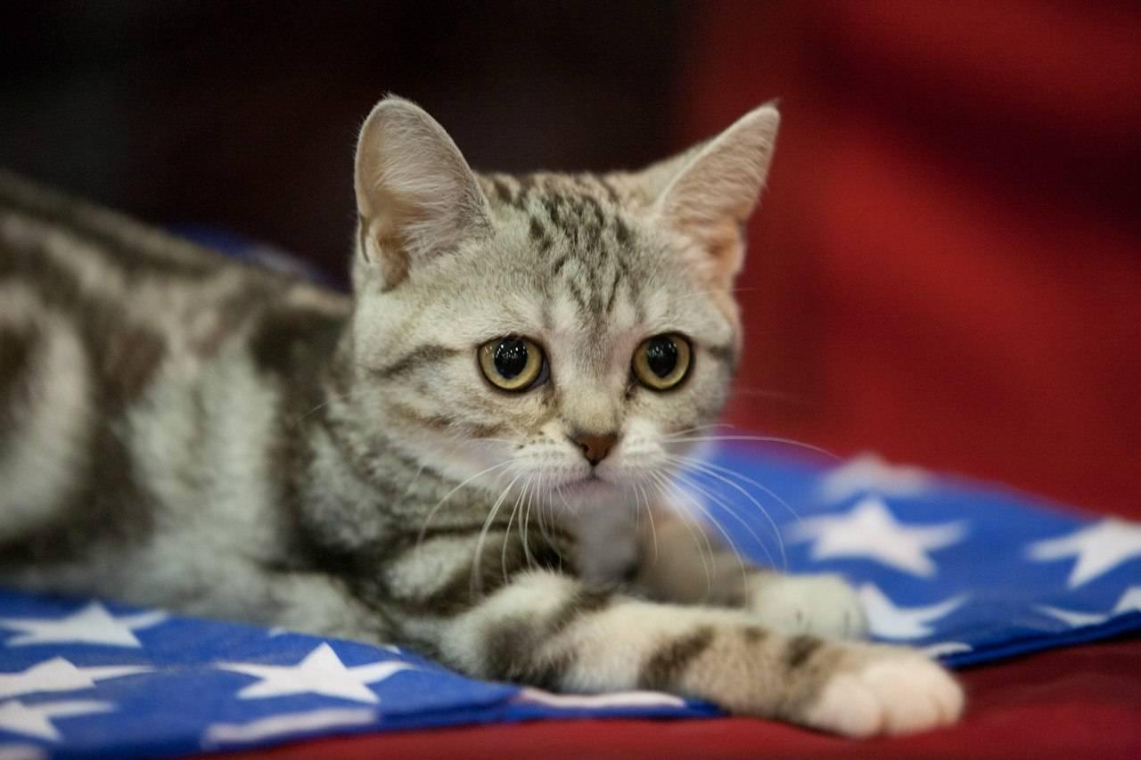 Американская короткошерстная порода кошек