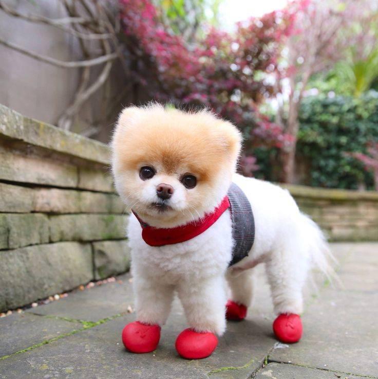 Карликовые породы собак