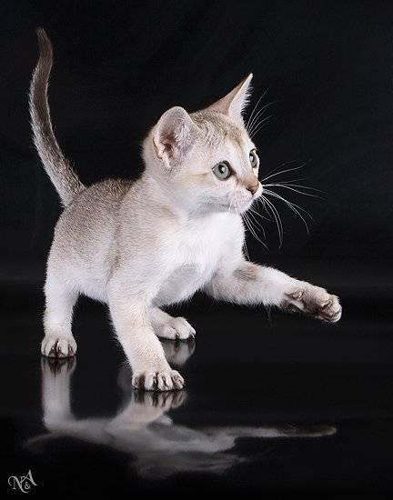 Особенности самых маленьких пород домашних кошек в мире