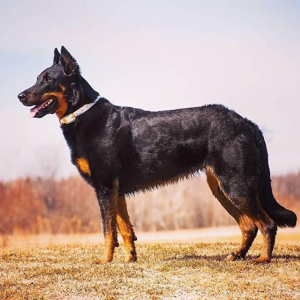 Французская овчарка босерон: потомок волка, собака-пастух или военный разведчик?