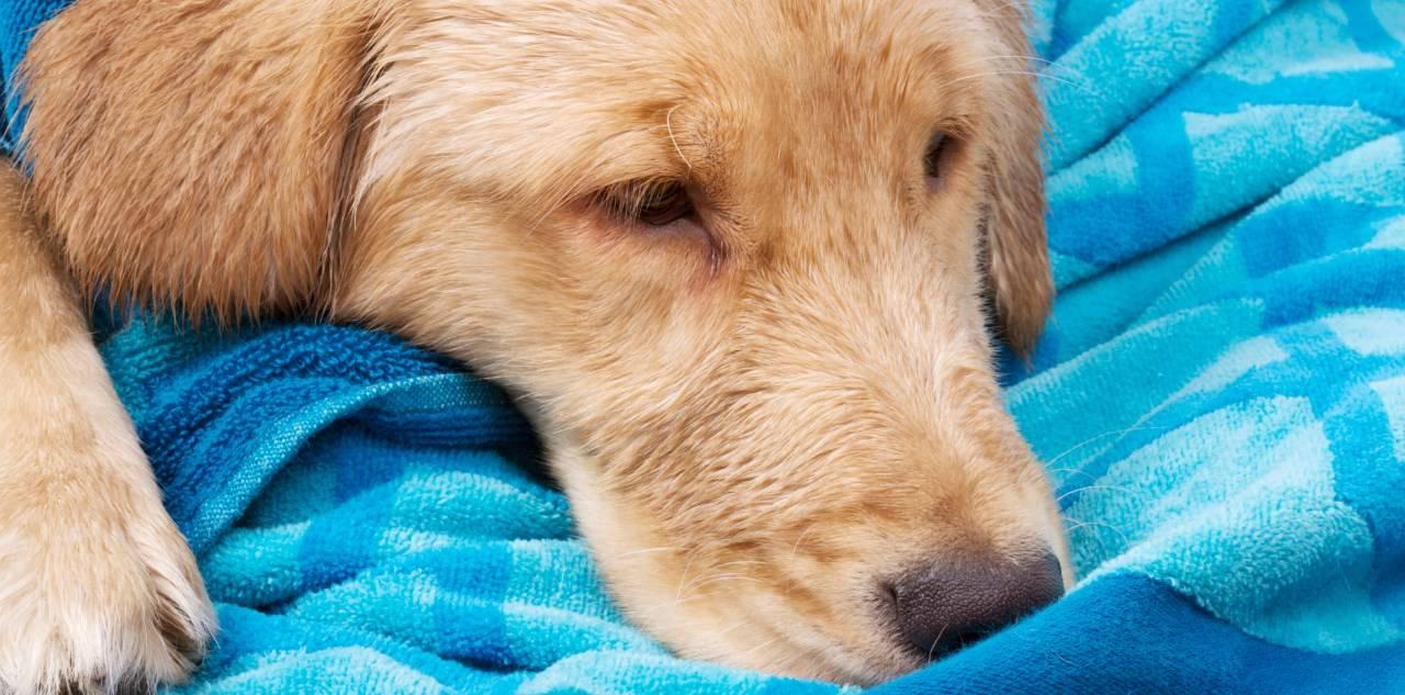 Коронавирусный энтерит у собак