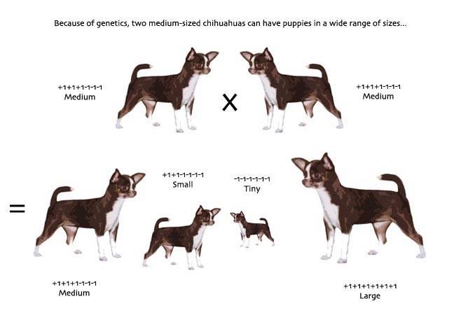 Описание чихуахуа