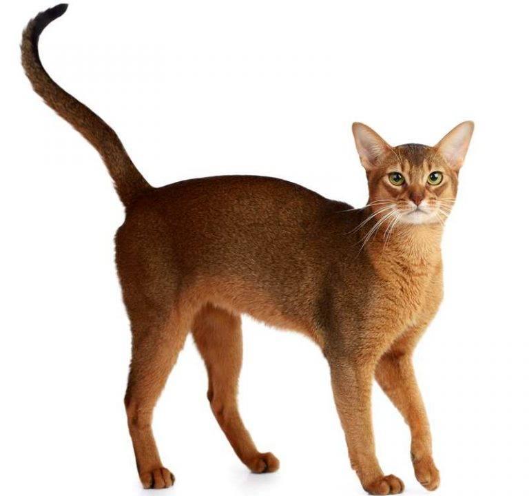Абиссинская кошка: фото, характер, описание и отзывы о породе