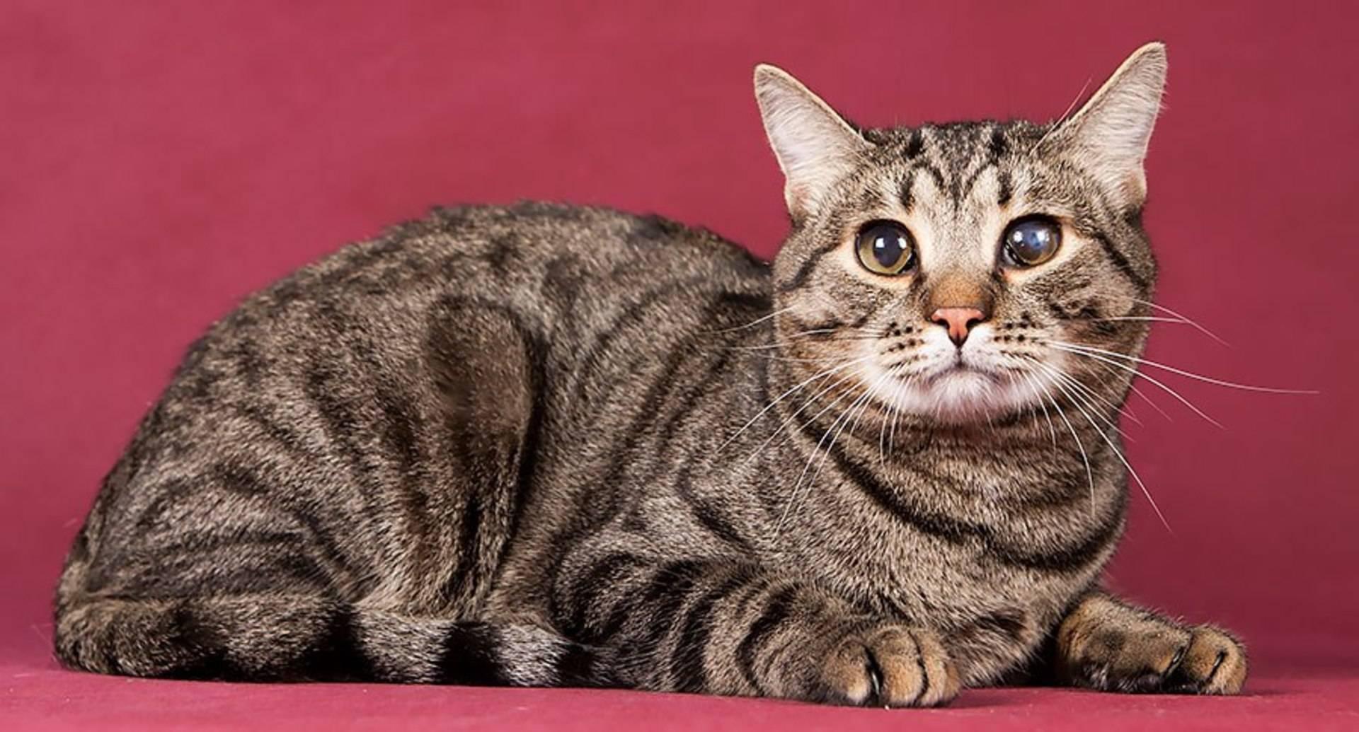 Европейская короткошерстная кошка (кельтская)