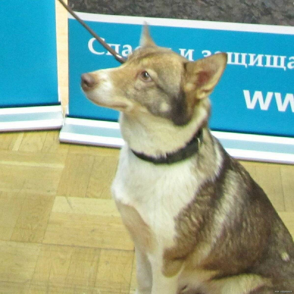 Собака сулимова: описание, характеристика, фото