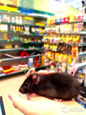 Крыса домашняя декоративная (fancy rat)