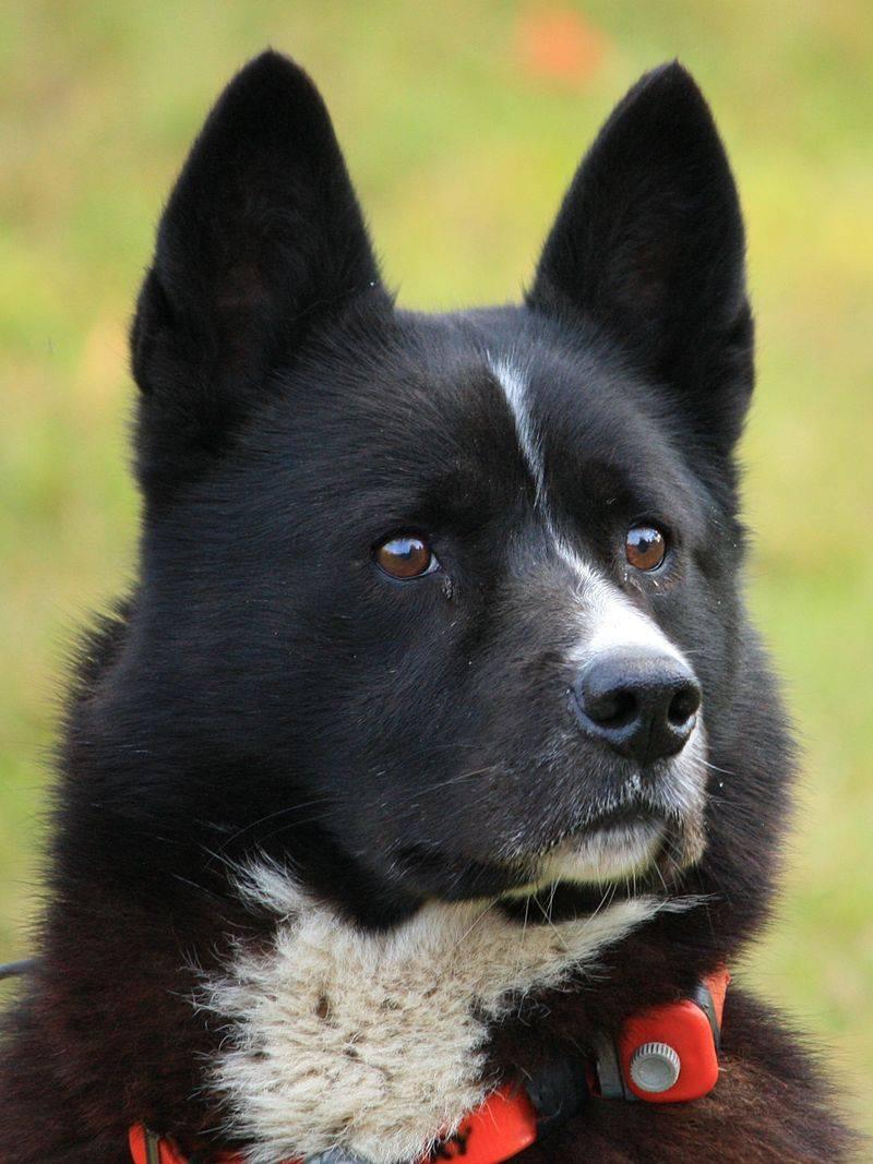 Карельская медвежья собака - описание породы с фото и видео: дрессировка, содержание, виды, окрас, уход