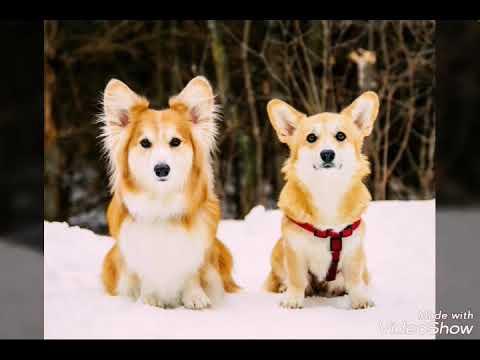 Вельш-корги флаффи: фото собак, описание разновидностей, черты характера, отличия от стандарта, правила содержания и питания