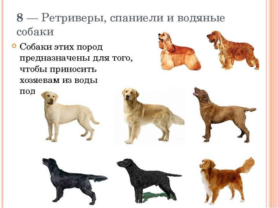 Лабрадор-ретривер: все о собаке, фото, описание породы, характер, цена