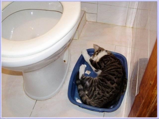 Кот или кошка часто ходит в туалет по маленькому по чуть-чуть: причины учащенного мочеиспускания, диагностика и лечение возможных болезней