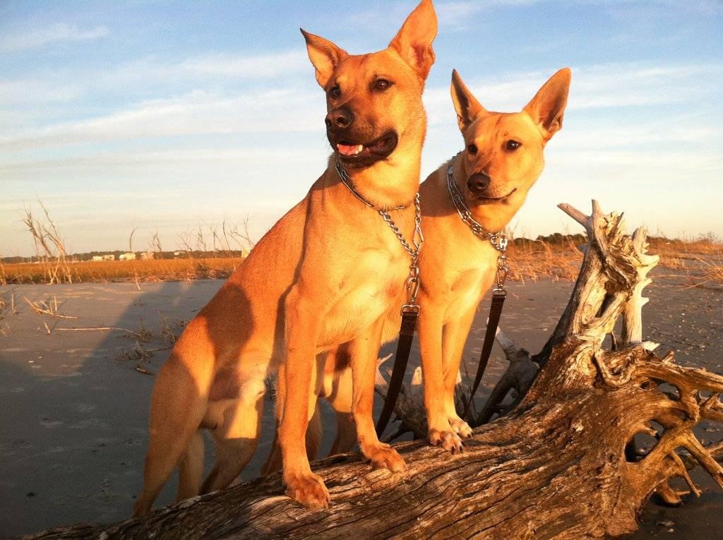 Каролинская собака: одичавшая и вновь приручённая собака американских индейцев