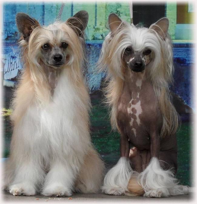 Китайская хохлатая пуховка: характер собак и уход за ними