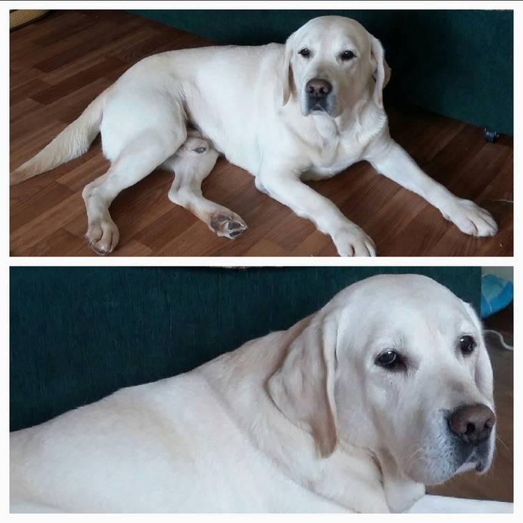 Как выглядит серый (серебристый) лабрадор: особенности характера питомца и как выбрать щенка