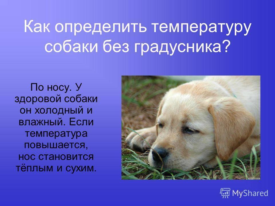 Как измерить температуру у собаки и какая она должна быть
