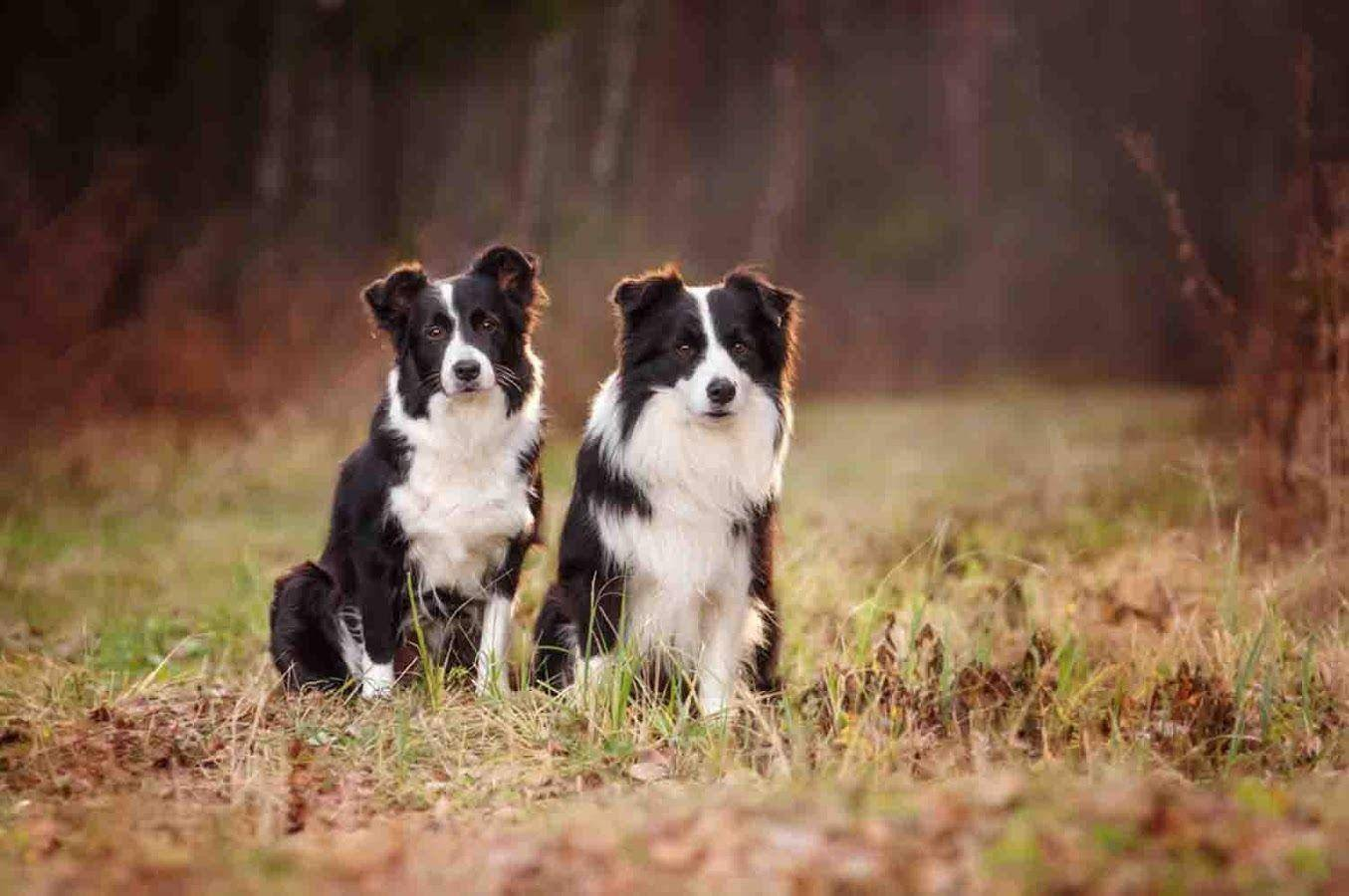 Колли собака. описание, особенности, уход и цена колли | sobakagav.ru