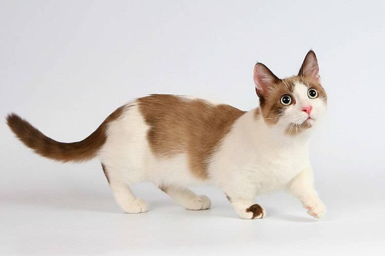 Порода кошек манчкин: особенности поведения, ухода и питания за питомцем