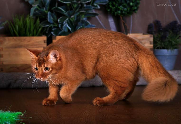 Сомалийские кошки – правила ухода и содержания