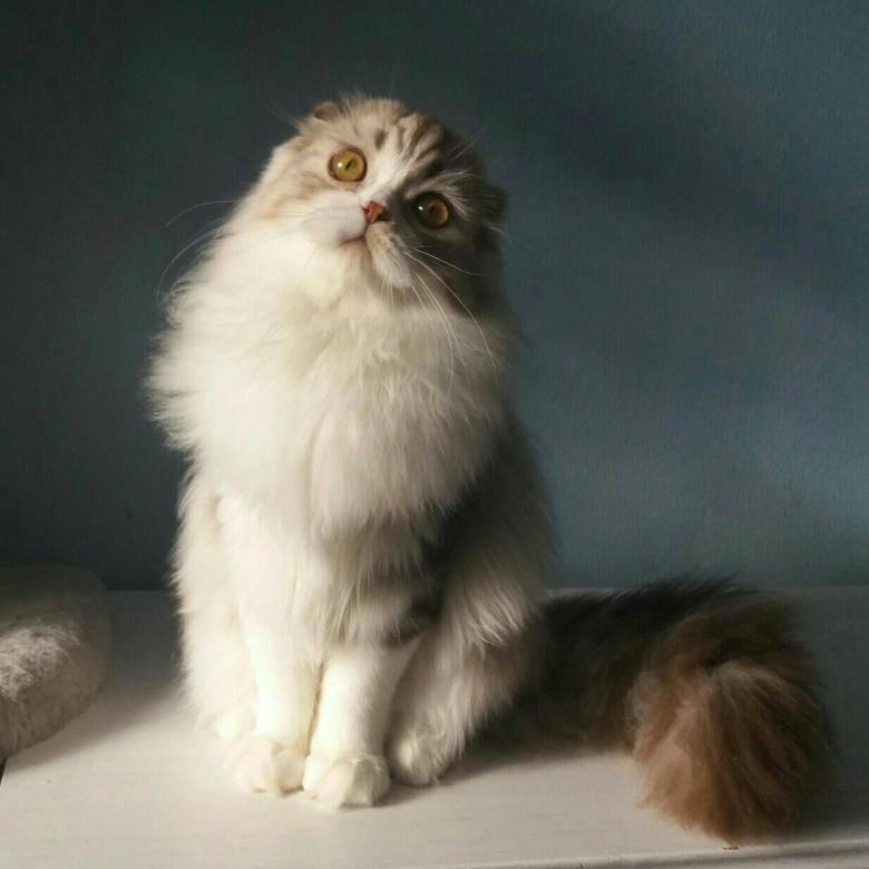 Хайленд фолд: шотландская длинношерстная вислоухая кошка