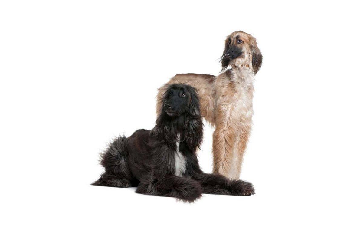 Афганская борзая: фото и описание породы собак афганская борзая: фото и описание породы собак