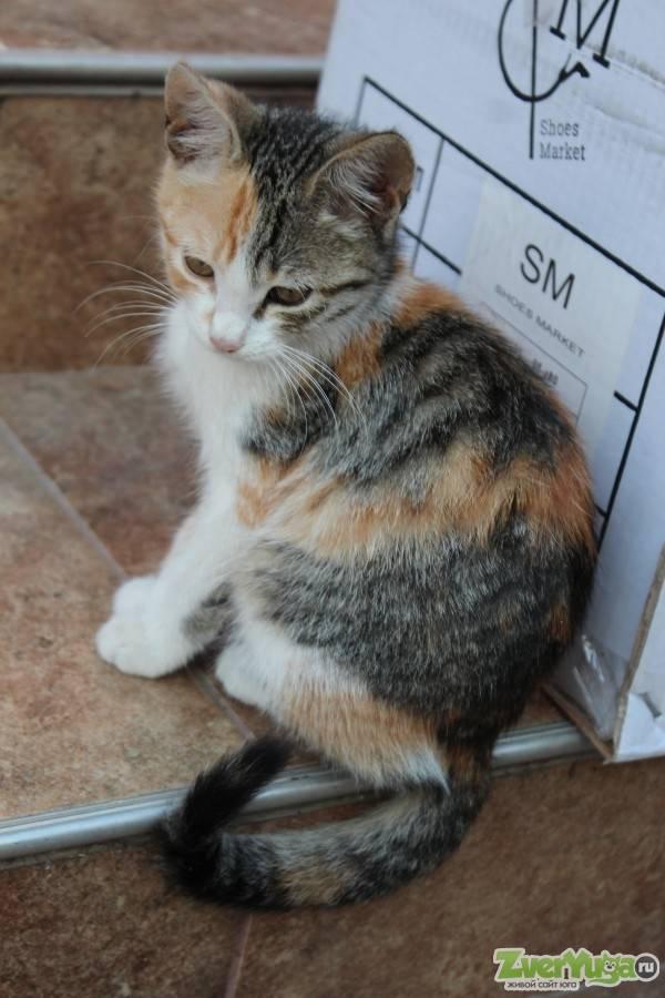 Трехцветная кошка в доме: приметы, поверья и суеверия