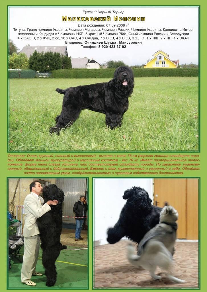 Порода собак русский черный терьер и ее характеристики с фото