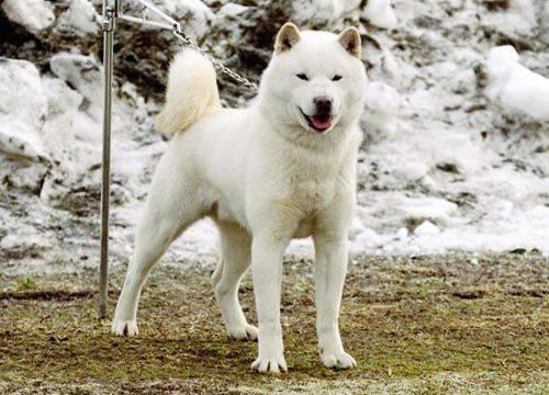 Хоккайдо (айну) – японская порода собак. хоккайдо (порода собак): подробное описание