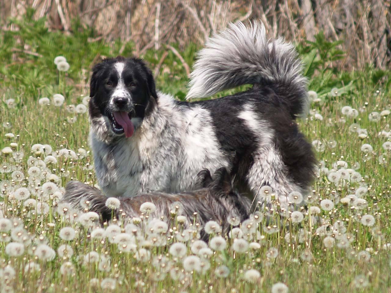 Болгарская овчарка (каракачанская собака) - фото и описание породы