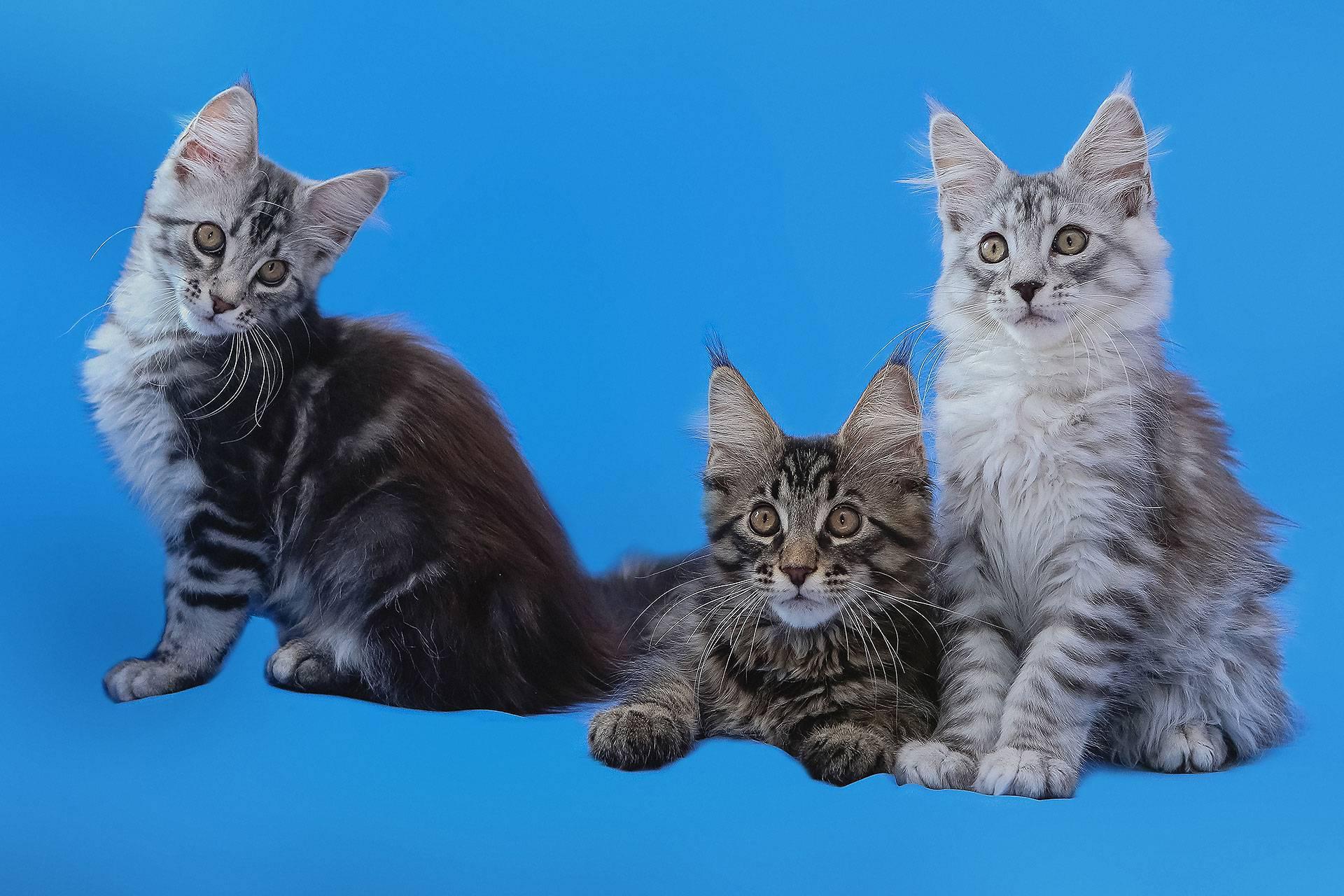 Наиболее популярные породы кошек