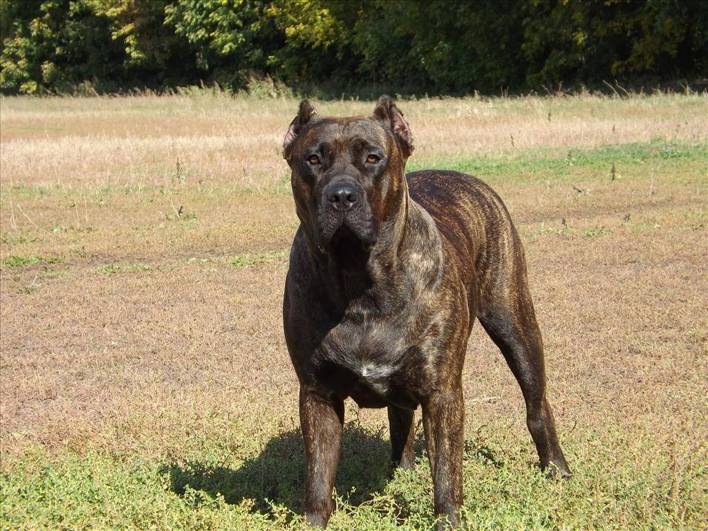 Собака испанский бульдог ( алано ) - характеристика породы