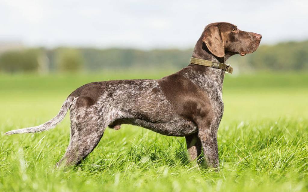 Характеристика немецких легавых курцхааров: особенности породы собак