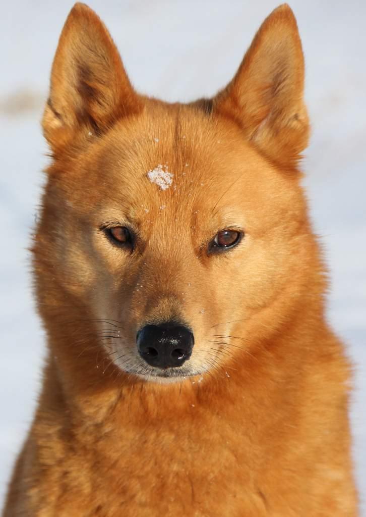 20 пород собак похожих на лис: рыжих, черных, белых