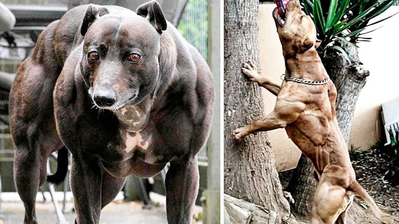 Самые сильные собаки в мире: топ-10 | какая самая сильная порода, фото
