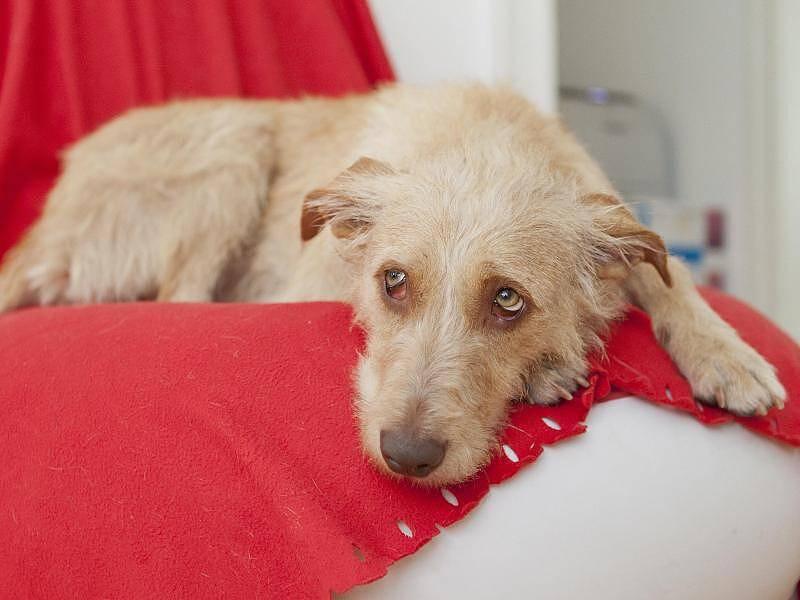 Чумка у собак: симптомы и лечение в домашних условиях