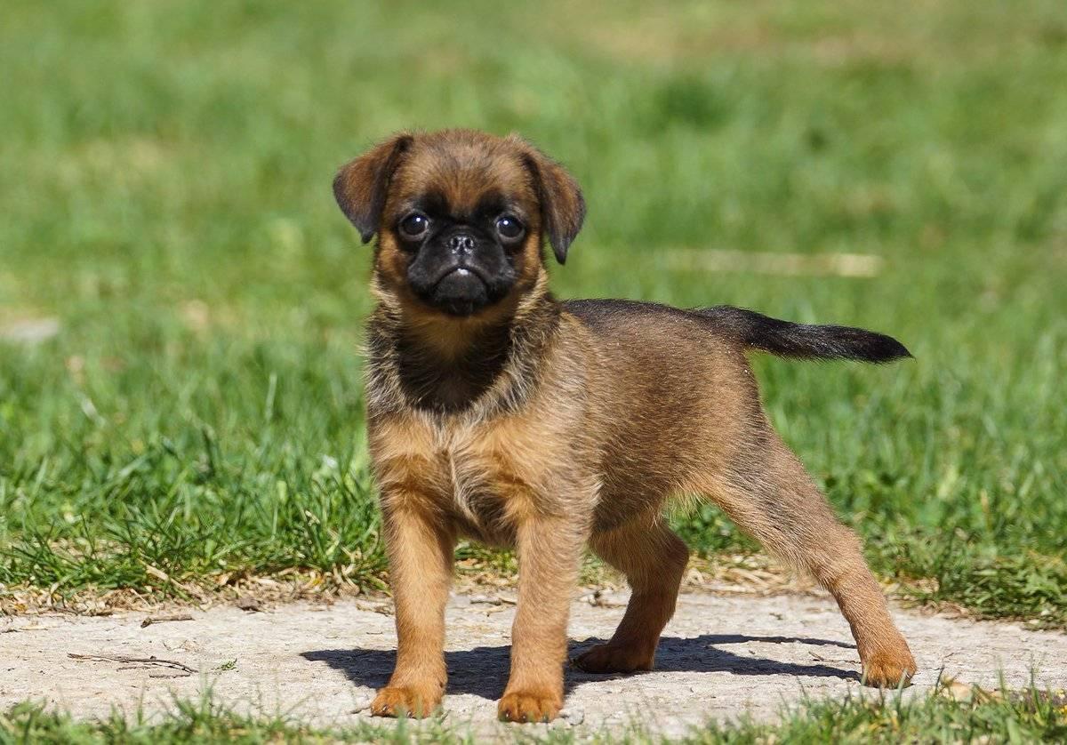 Пти брабансон. о породе собак: описание породы пти брабансон, цены, фото, уход