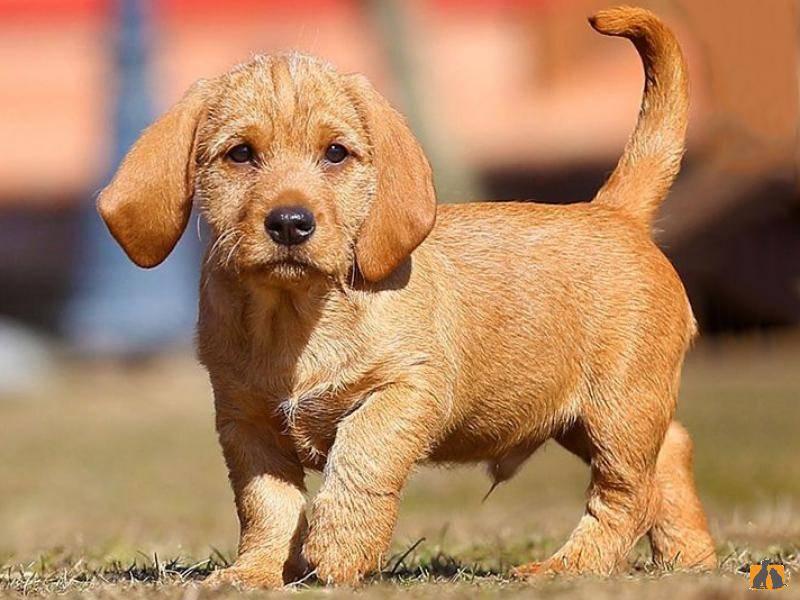 Собака бассет хаунд: описание породы, характеристики и характер.