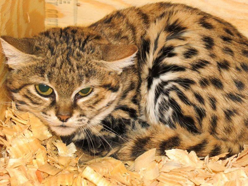 Томоюки ямасита — «малайский тигр»