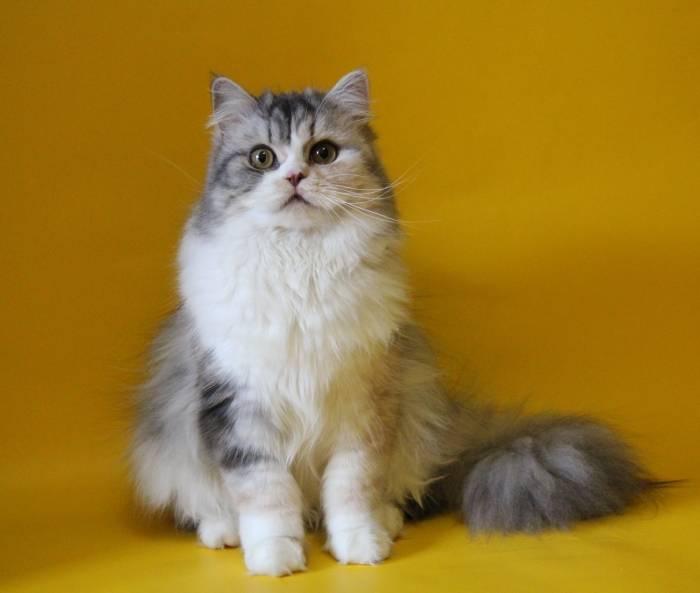 Скоттиш-страйт (шотландская прямоухая кошка): описание породы, содержание, уход, кормление