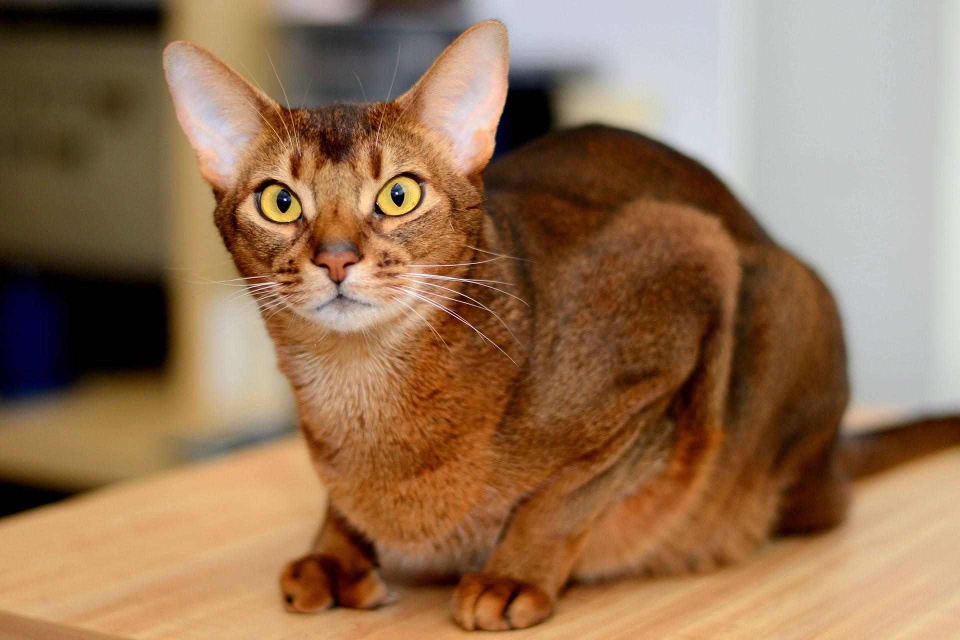 Цейлонская кошка — википедия. что такое цейлонская кошка
