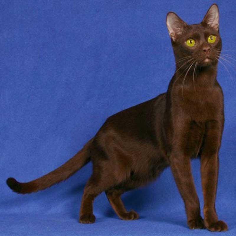 Бразильская короткошерстная кошка: детальное знакомство с породой